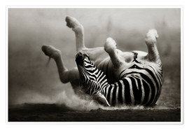 Poster  Zebra rolling upside down on dusty desert sand - Johan Swanepoel