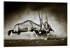 Stampa su vetro acrilico  Gemsbok antelope fighting in dusty sandy desert - Johan Swanepoel