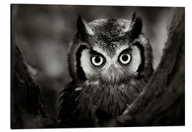 Stampa su alluminio  White-faced Owl perched in a tree - Johan Swanepoel
