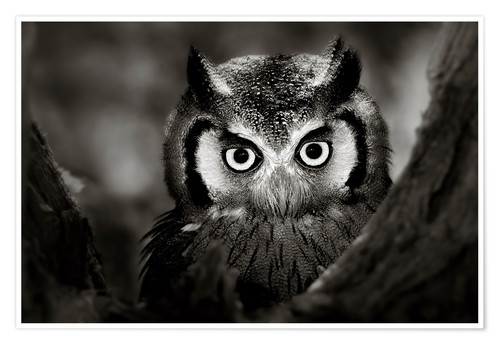 Poster Premium White-faced Owl perched in a tree