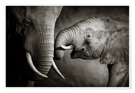 Poster Premium  Baby Elephant Interacting with Cow - Johan Swanepoel