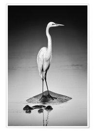 Poster Premium Great white Egret perched on Hippo