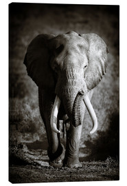 Tela  Elephant with huge tusks approaching - Johan Swanepoel