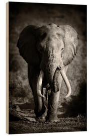 Legno  Elephant with huge tusks approaching - Johan Swanepoel