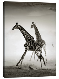 Stampa su tela  Giraffes running in the dust - Johan Swanepoel