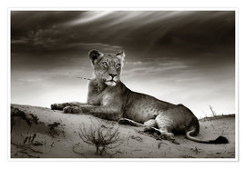 Poster Premium Lioness resting on top of a sand dune