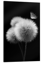 Vetro acrilico  Fluffy dandelions close-up