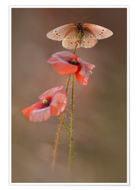 Poster  Butterfly on poppy flower - Jaroslaw Blaminsky