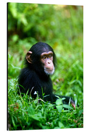 Alluminio Dibond  Chimpanzee in the jungle