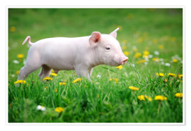 Poster Premium  Piglets on a spring meadow