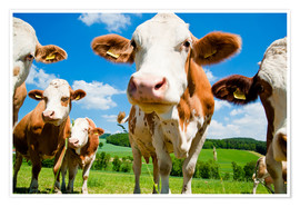 Poster  Curious cows