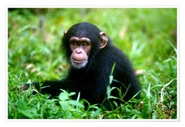Poster Premium  Little Chimpanzee
