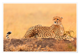 Poster  Cheetahs place