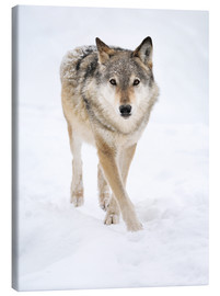 Stampa su tela  Gray Wolf in Snow