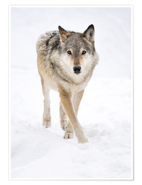 Poster Premium  Gray Wolf in Snow