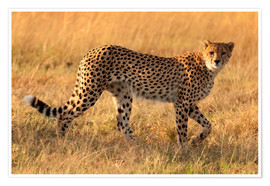 Poster Premium  Cheetah looking for its pray