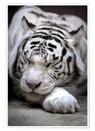 Poster Premium  Sleeping white tiger
