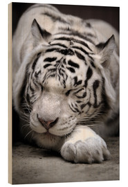 Stampa su legno  Sleeping white tiger