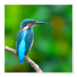 Poster Premium  Kingfisher in blue turquoise