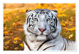 Poster Premium  White Tiger in closeup