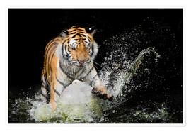 Poster Premium  Tiger Makes the water