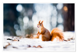Poster  Squirrel looking for its nut