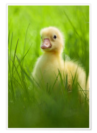 Poster  Sweet little goose in the green grass
