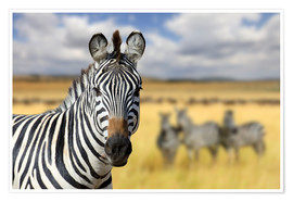 Poster  View of zebras