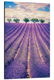 Alluminio Dibond  Lavender field with trees in Provence, France