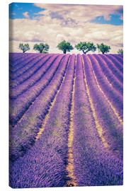 Stampa su tela  Lavender field with trees in Provence, France