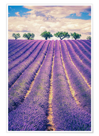 Poster Premium  Lavender field with trees in Provence, France