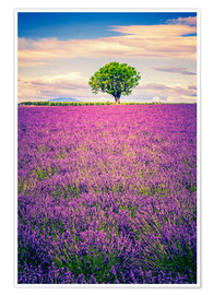 Poster Premium  Lavender field with tree in Provence, France