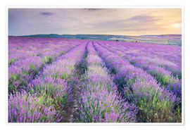 Poster Premium  Meadow of lavender on sunset