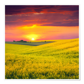 Poster Premium Canola fields in the sunset