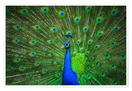 Poster Premium  beautiful peacock with feathers