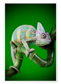 Poster  green chameleon on bamboo