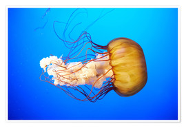 Poster Premium  Orange jellyfish (Chrysaora fuscescens) in the blue ocean