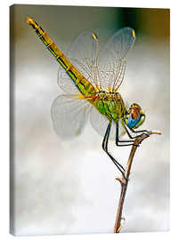 Stampa su tela  dragon-fly