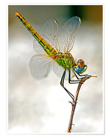 Poster Premium dragon-fly