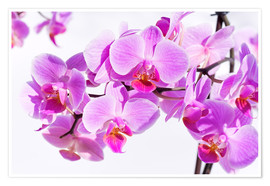 Poster  Beautiful pink-magenta orchid
