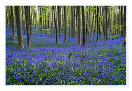 Poster Premium Hallerbos Forest during Spring