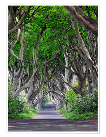 Poster Premium The Dark Hedges in Irlanda