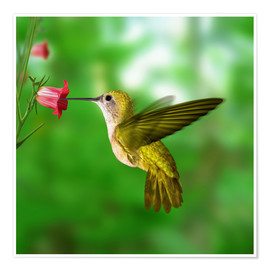 Poster Premium  Hummingbird drinking nectar from flower