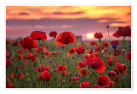 Poster Premium Poppies in sunset