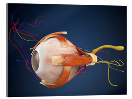 Stampa su vetro acrilico  Human eye with muscles and circulatory system.
