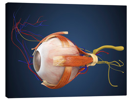 Stampa su tela  Human eye with muscles and circulatory system.