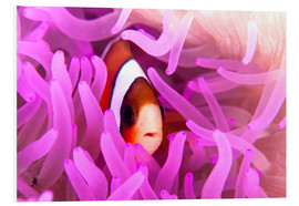 Ethan Daniels - Anemonefish amongst tentacles