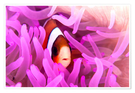 Poster  Anemonefish amongst tentacles - Ethan Daniels