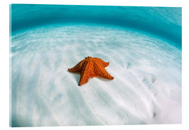 Stampa su vetro acrilico  A West Indian starfish on the seafloor in Turneffe Atoll, Belize. - Ethan Daniels
