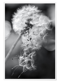 Poster Premium  Dandelion lost his seeds - Julia Delgado